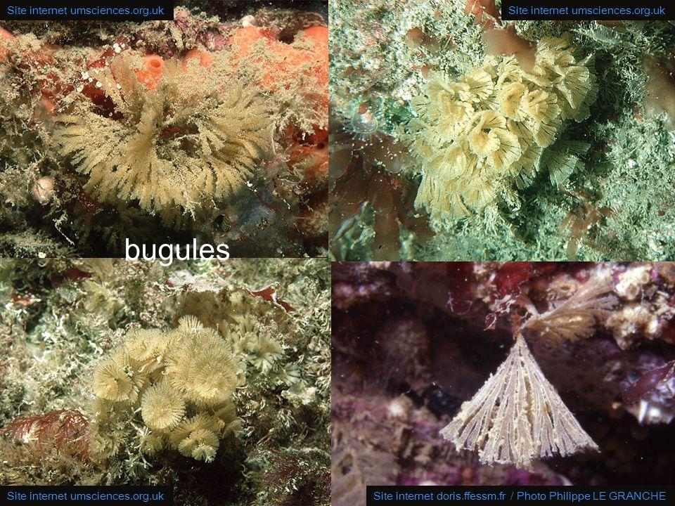 24 bugules: depuis la surface jusqu'à 60 m de profondeur en Atlantique, Manche, Mer du Nord et en Méditerranée; 5 cm de haut ! branches sont plates, r