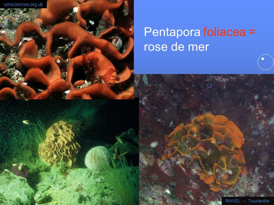 34 Pentapora foliacea Lorsque les lophophores sont déployés, la colonie a un aspect duveteux; vit fixée aux rochers à partir de 15 m de profondeur. en