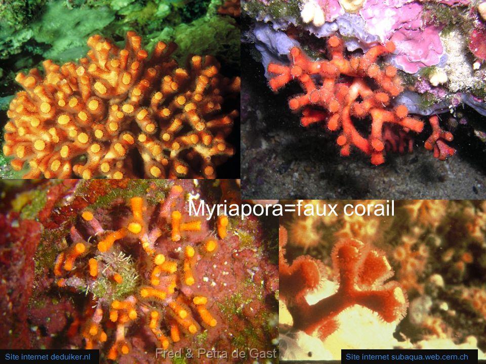35 RAVEL – Tourlaville umsciences.org.uk Pentapora foliacea = rose de mer