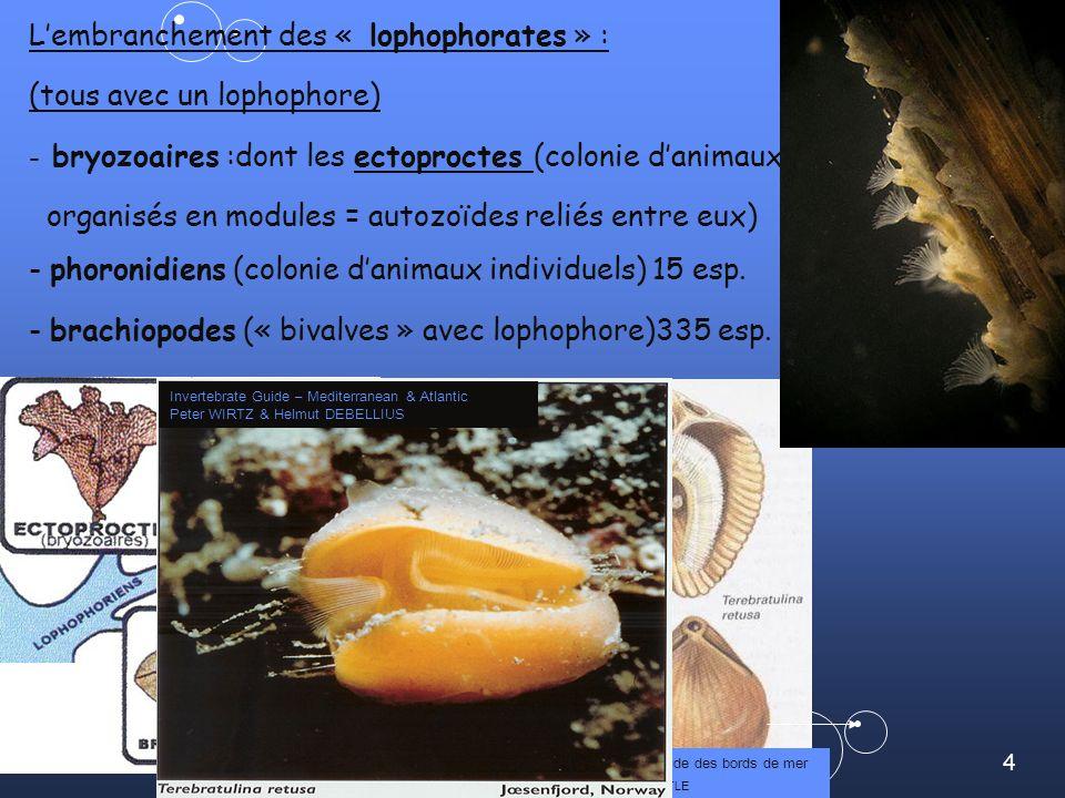 4 Lembranchement des « lophophorates » : (tous avec un lophophore) - bryozoaires :dont les ectoproctes (colonie danimaux organisés en modules = autozoïdes reliés entre eux) - phoronidiens (colonie danimaux individuels) 15 esp.
