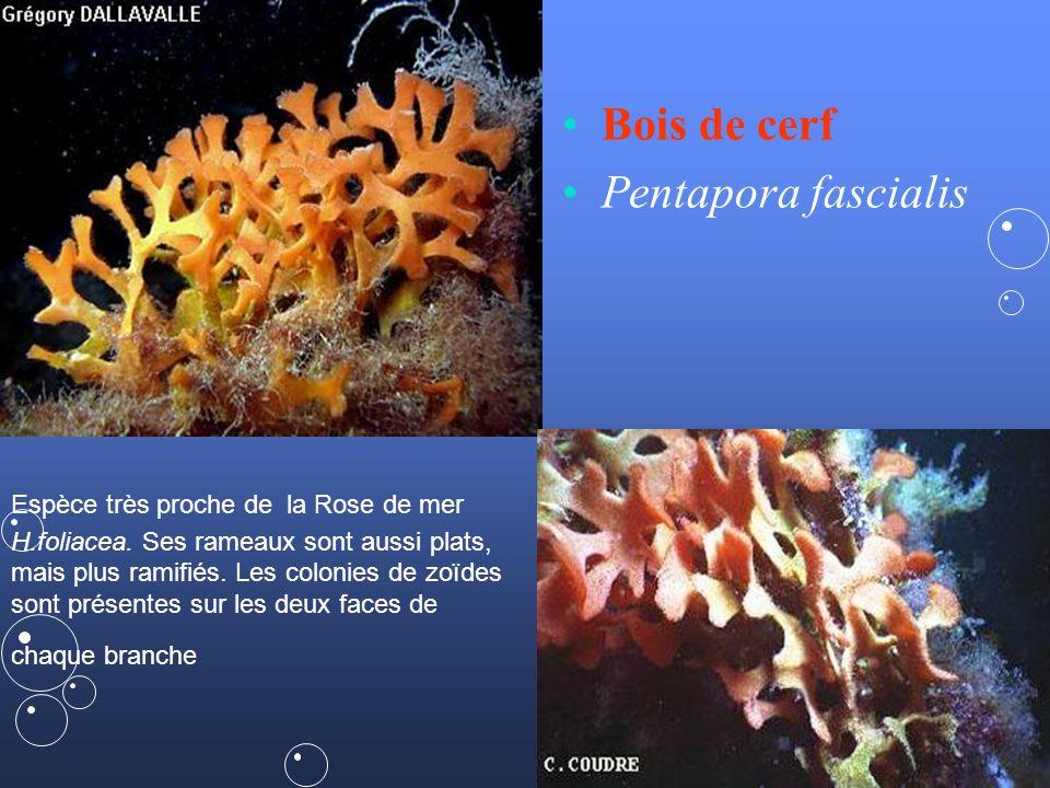 41 Adeonella calveti subaqua.web.cern.ch