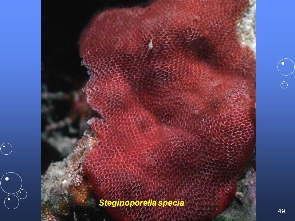 48 RAVEL / Tourlaville umsciences.org.uk doris.ffessm.fr / Denis ADER légèrement urticant alcyonidium