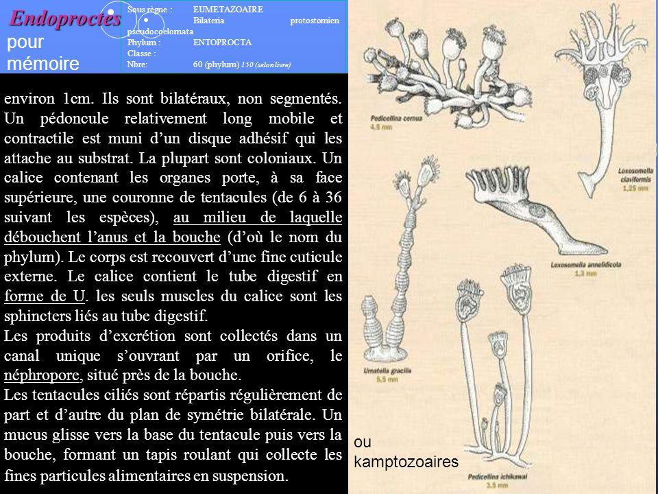 4 Lembranchement des « lophophorates » : (tous avec un lophophore) - bryozoaires :dont les ectoproctes (colonie danimaux organisés en modules = autozo