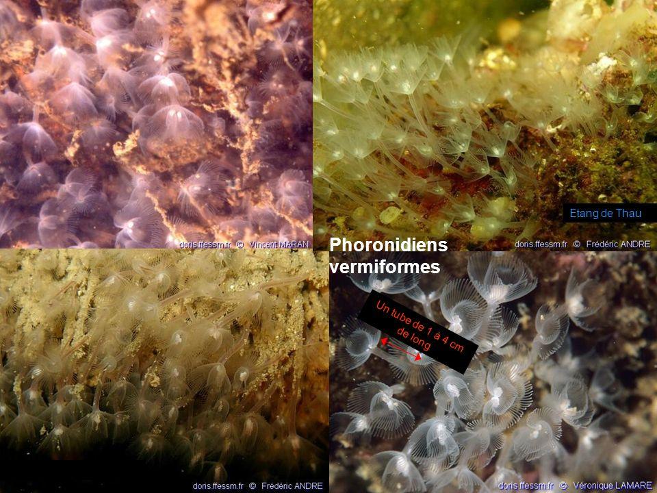 59 phoronidiens Exclusivement marins 15 espèces répertoriées !!! Fixés au substrat par un tube chitineux Appareil circulatoire clos Système excréteur