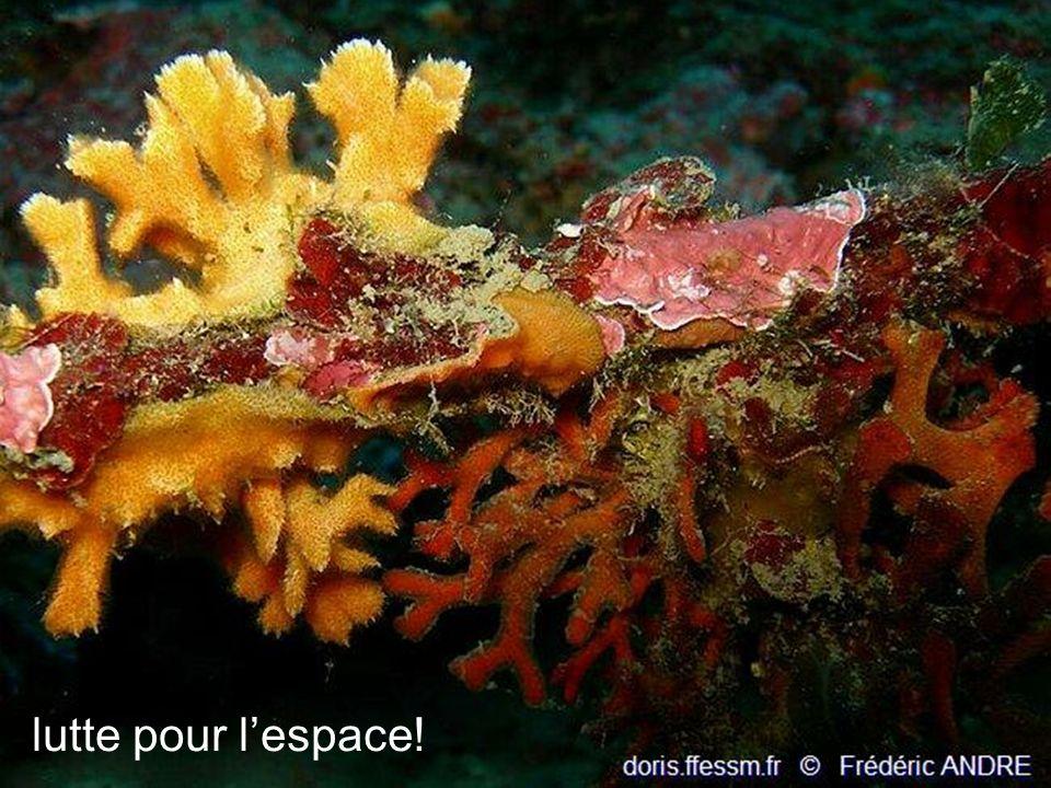 37 Myriapora truncata (FAUX CORAIL) vit fixé sur les surplombs rocheux, dans les anfractuosités et à l entrée des grottes dans des zones faiblement éclairées, entre 1 m et 100 m de profondeur uniquement en Méditerranée.