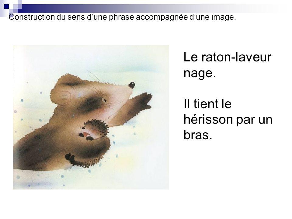 Construction du sens dune phrase accompagnée dune image. Le raton-laveur nage. Il tient le hérisson par un bras.