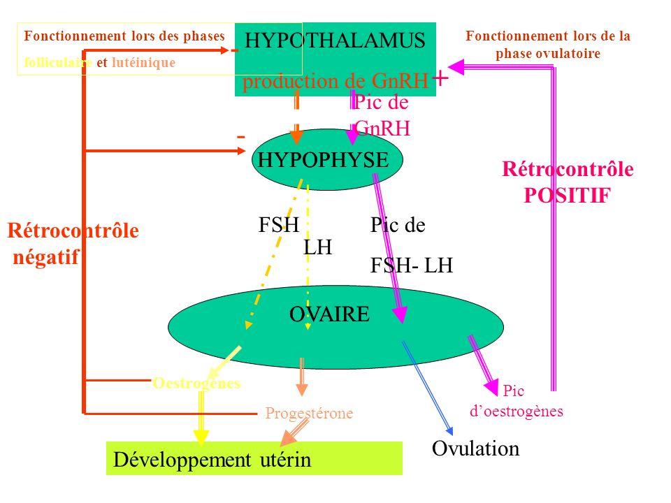 HYPOTHALAMUS production de GnRH HYPOPHYSE FSH LH OVAIRE Oestrogènes Progestérone Développement utérin - - HYPOPHYSE OVAIRE Fonctionnement lors de la p
