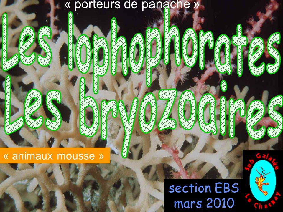 52 se développe en plaques sur les algues comme Fucus serratus, peut entourer complètement l algue et former un manchon (30cm) que l on peut confondre avec une éponge; depuis la surface jusqu à 100 m de profondeur en Atlantique, Manche, Mer du Nord, et Méditerranée.
