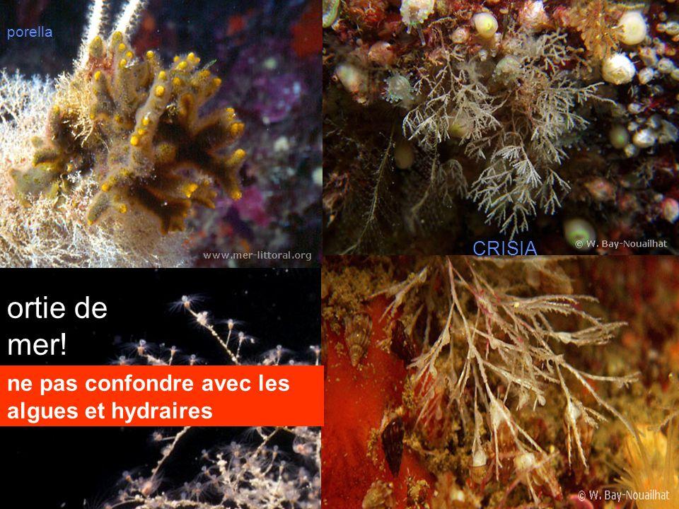 10 crisia porella CRISIA ne pas confondre avec les algues et hydraires ortie de mer!