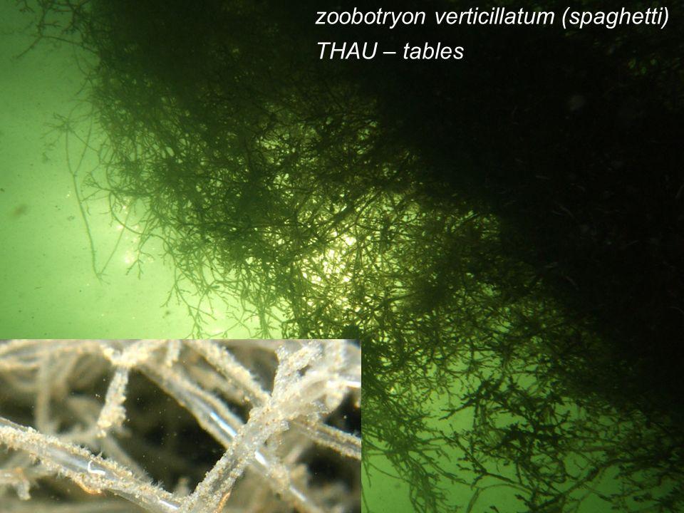 13 zoobotryon verticillatum (spaghetti) THAU – tables