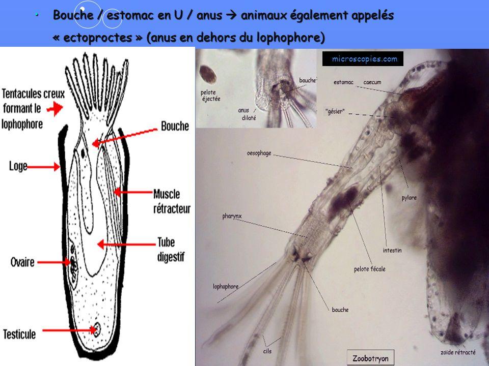 15 Bouche / estomac en U / anus animaux également appelés « ectoproctes » (anus en dehors du lophophore)Bouche / estomac en U / anus animaux également appelés « ectoproctes » (anus en dehors du lophophore) Site Internet Vieoceane.free.fr microscopies.com