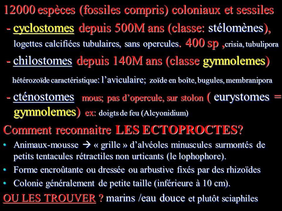 3 12000 espèces (fossiles compris) coloniaux et sessiles - cyclostomes depuis 500M ans (classe: stélomènes), logettes calcifiées tubulaires, sans opercules.