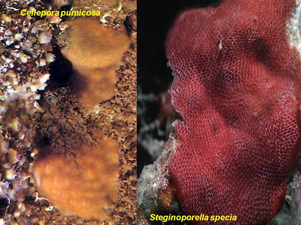 31 Cellepora pumicosa Steginoporella specia