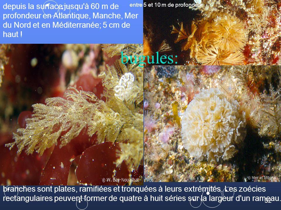 32 bugules: depuis la surface jusqu à 60 m de profondeur en Atlantique, Manche, Mer du Nord et en Méditerranée; 5 cm de haut .