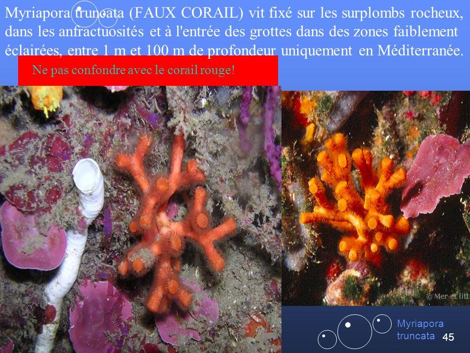 45 Myriapora truncata (FAUX CORAIL) vit fixé sur les surplombs rocheux, dans les anfractuosités et à l entrée des grottes dans des zones faiblement éclairées, entre 1 m et 100 m de profondeur uniquement en Méditerranée.