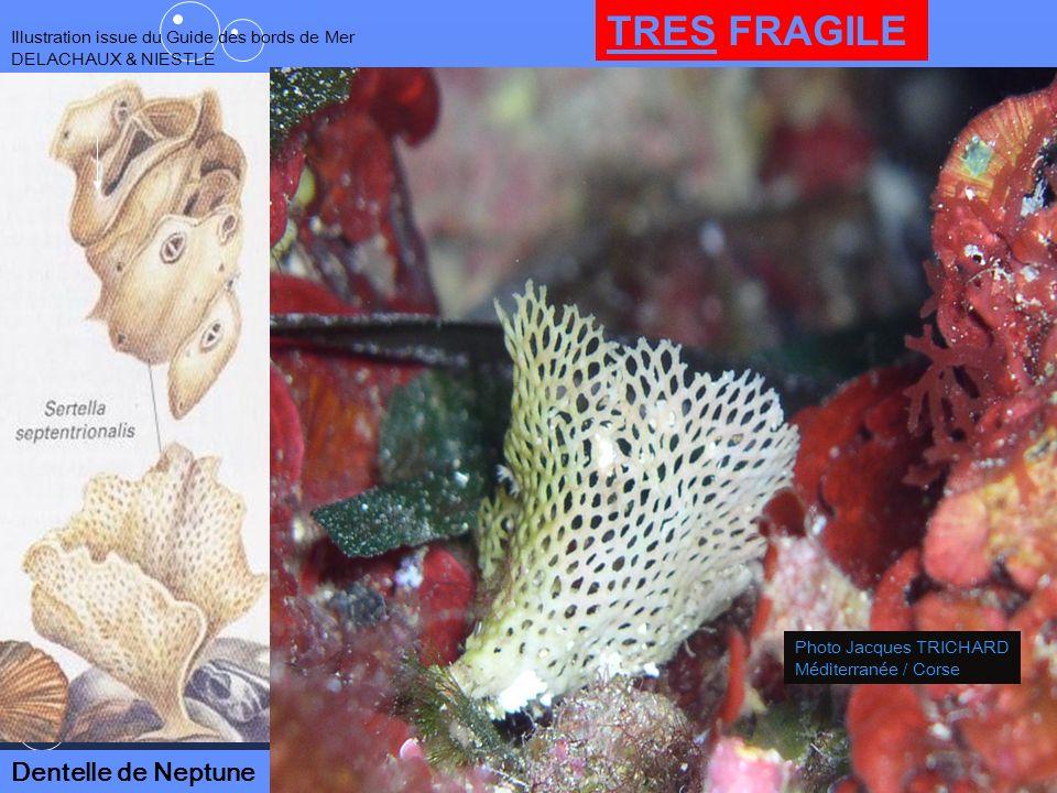 50 Illustration issue du Guide des bords de Mer DELACHAUX & NIESTLE Dentelle de Neptune Photo Jacques TRICHARD Méditerranée / Corse TRES FRAGILE