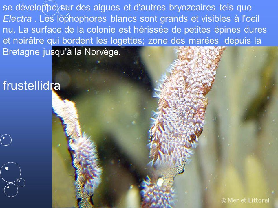 55 frustellidra se développe sur des algues et d autres bryozoaires tels que Electra.