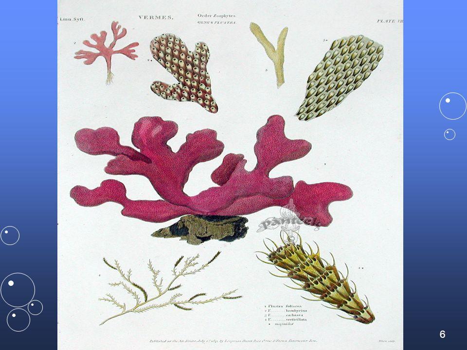 37 Bryozoaire épineux