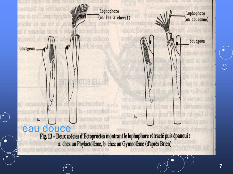58 Lophophore en fer a cheval Zoarium Pectinatella sp. Classe des PHYLACTOMENES en eau douce …