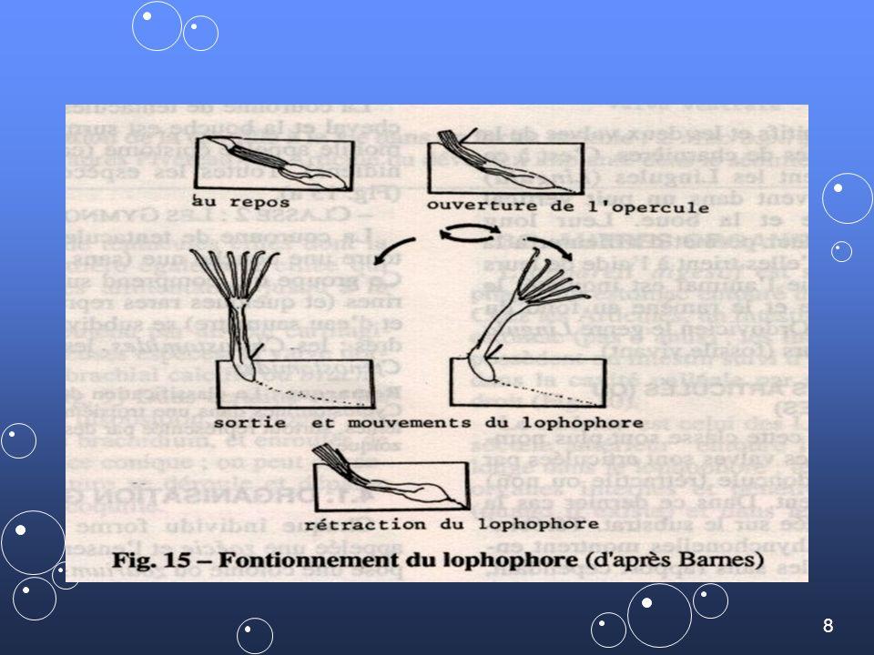 19 ELECTRA pilosa ELECTRA: encroûtante parfois légèrement dressée qui vit fixée sur les algues comme Fucus et aussi sur les roches ou les coquilles.