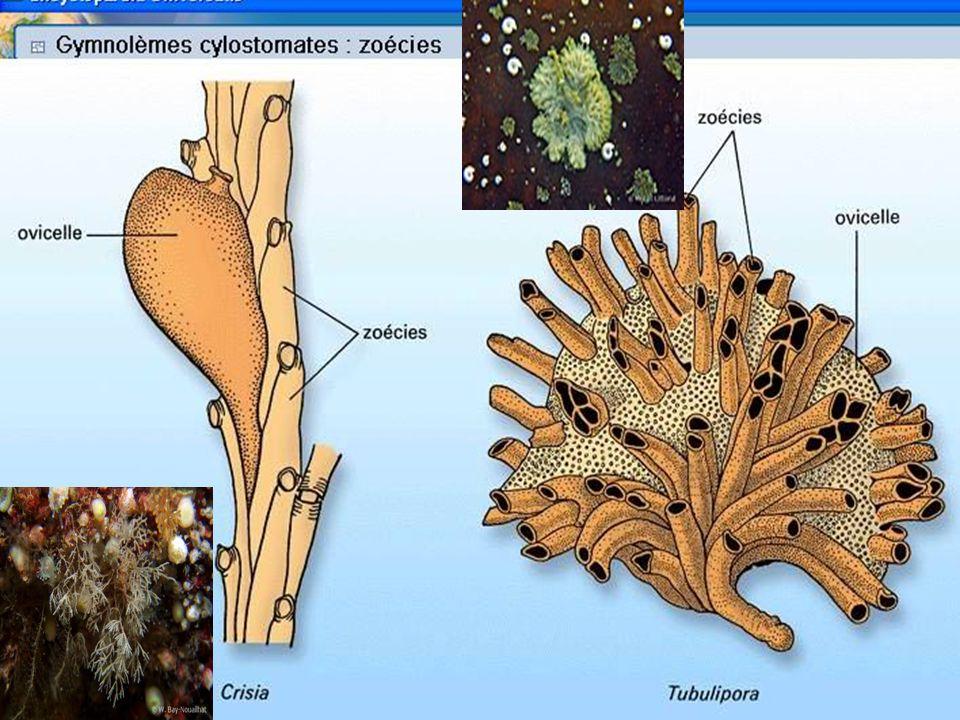 70 Reproduction Animaux hermaphrodites (auto-fécondation) Autozoides protandres ou protogynes.