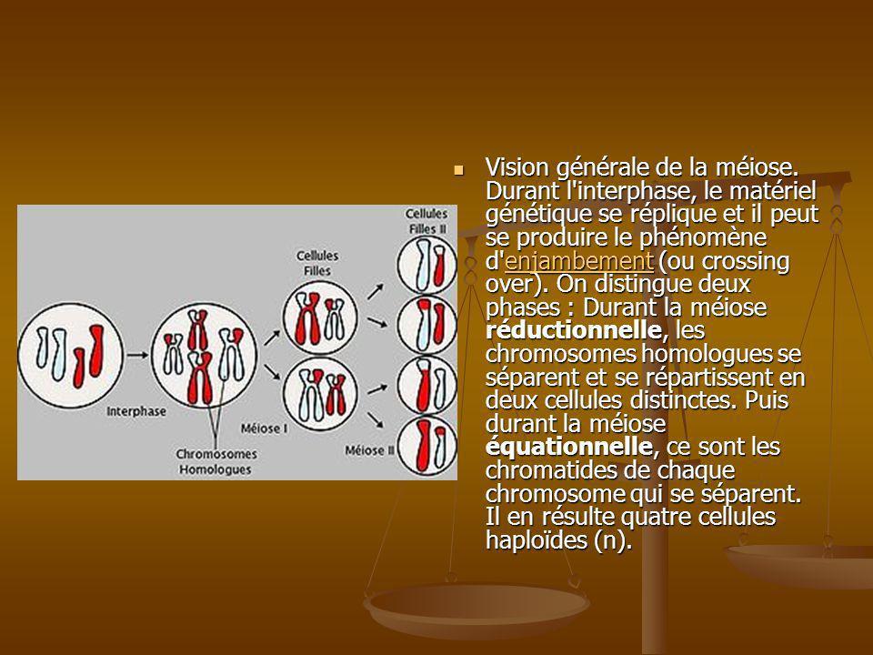 Vision générale de la méiose. Durant l'interphase, le matériel génétique se réplique et il peut se produire le phénomène d'enjambement (ou crossing ov