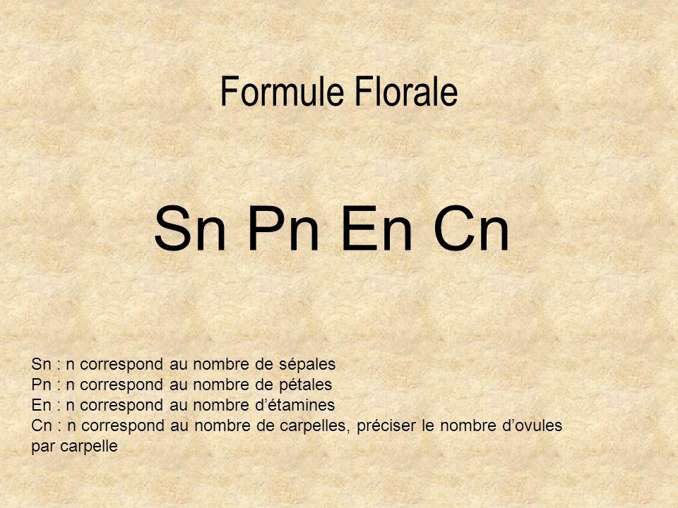 Formule Florale Sn Pn En Cn Sn : n correspond au nombre de sépales Pn : n correspond au nombre de pétales En : n correspond au nombre détamines Cn : n