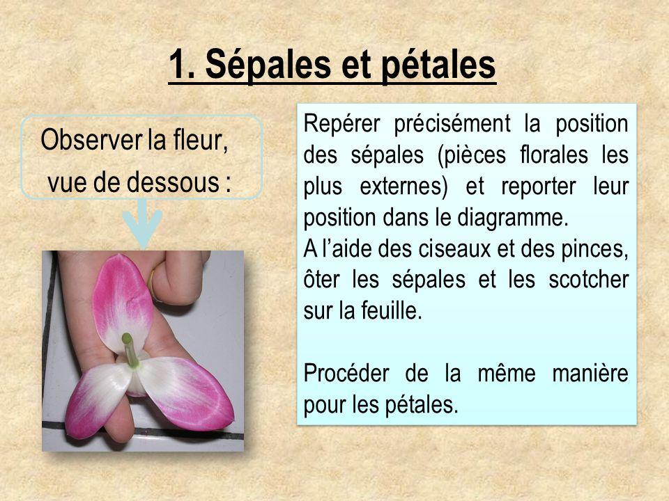 1. Sépales et pétales Observer la fleur, vue de dessous : Repérer précisément la position des sépales (pièces florales les plus externes) et reporter
