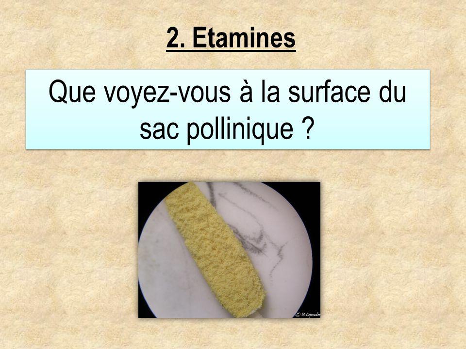 2. Etamines Que voyez-vous à la surface du sac pollinique ?