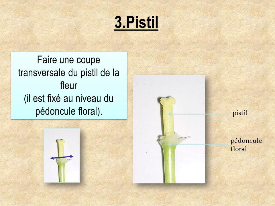 3.Pistil Faire une coupe transversale du pistil de la fleur (il est fixé au niveau du pédoncule floral). Faire une coupe transversale du pistil de la