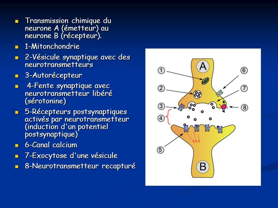 Transmission chimique du neurone A (émetteur) au neurone B (récepteur). Transmission chimique du neurone A (émetteur) au neurone B (récepteur). 1-Mito