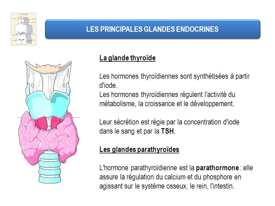 LES PRINCIPALES GLANDES ENDOCRINES La glande thyroïde Les hormones thyroïdiennes sont synthétisées à partir d'iode. Les hormones thyroïdiennes régulen