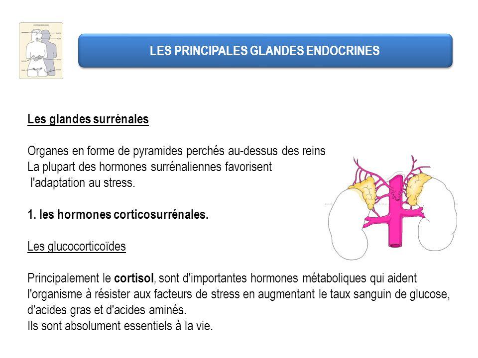 LES PRINCIPALES GLANDES ENDOCRINES Les glandes surrénales Organes en forme de pyramides perchés au-dessus des reins. La plupart des hormones surrénali