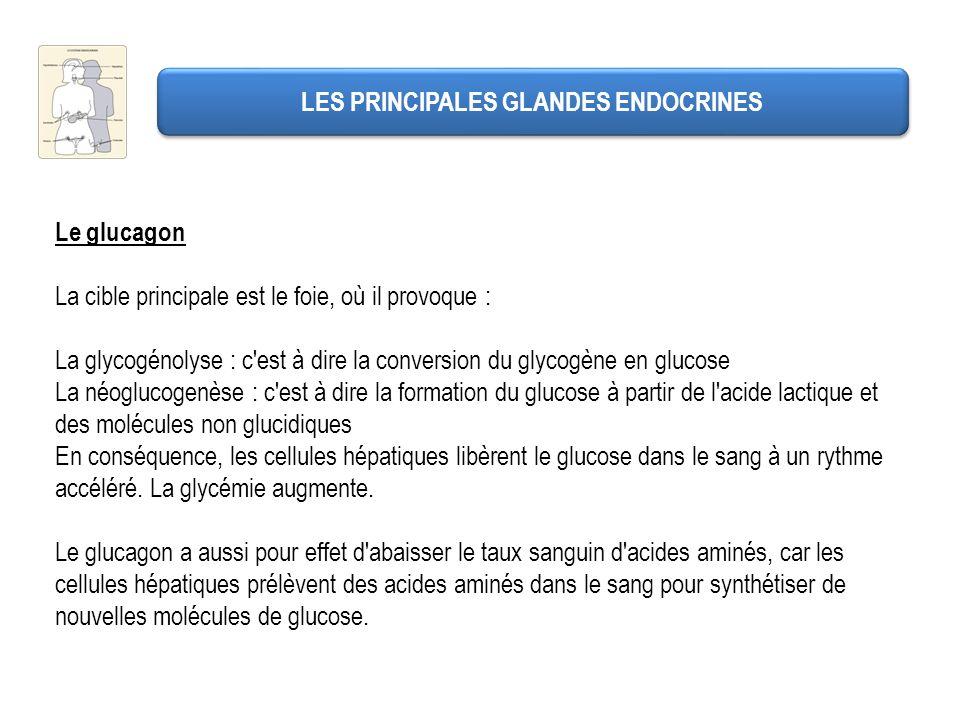LES PRINCIPALES GLANDES ENDOCRINES Le glucagon La cible principale est le foie, où il provoque : La glycogénolyse : c'est à dire la conversion du glyc