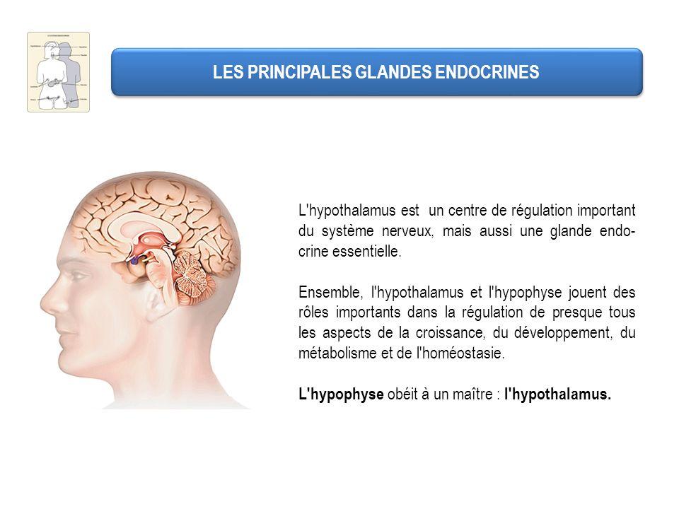 L'hypothalamus est un centre de régulation important du système nerveux, mais aussi une glande endo- crine essentielle. Ensemble, l'hypothalamus et l'