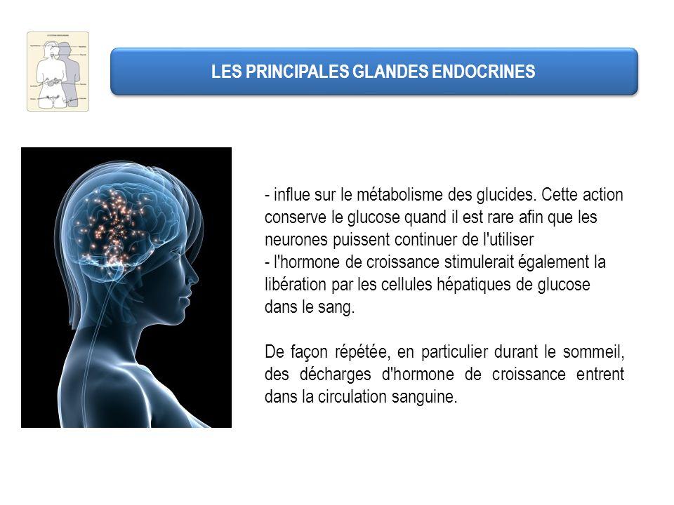 LES PRINCIPALES GLANDES ENDOCRINES - influe sur le métabolisme des glucides. Cette action conserve le glucose quand il est rare afin que les neurones