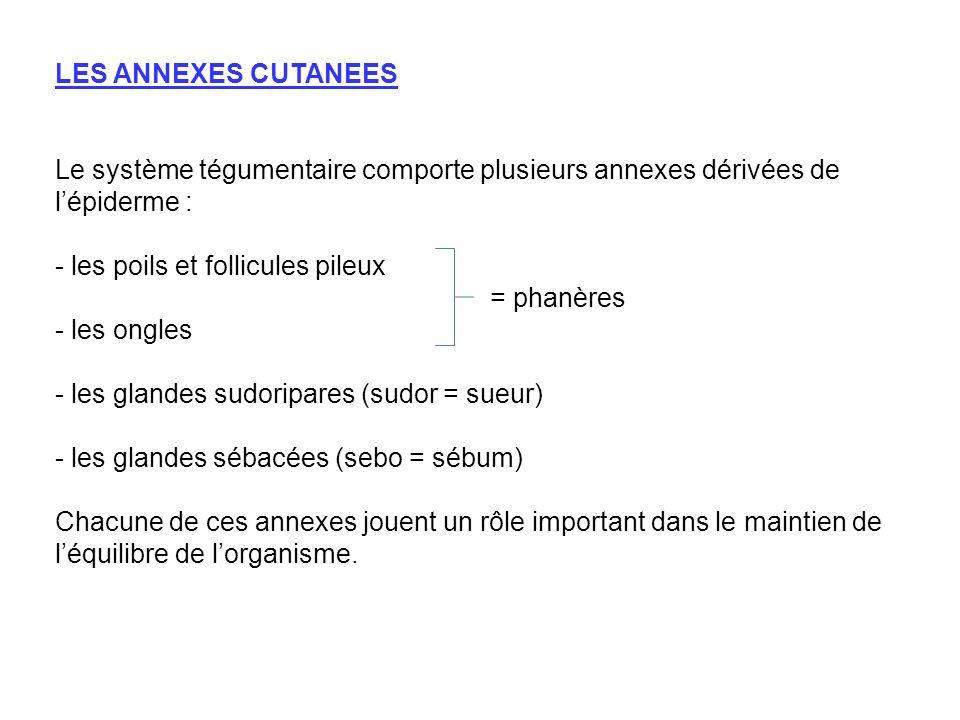 LES ANNEXES CUTANEES Le système tégumentaire comporte plusieurs annexes dérivées de lépiderme : - les poils et follicules pileux = phanères - les ongl