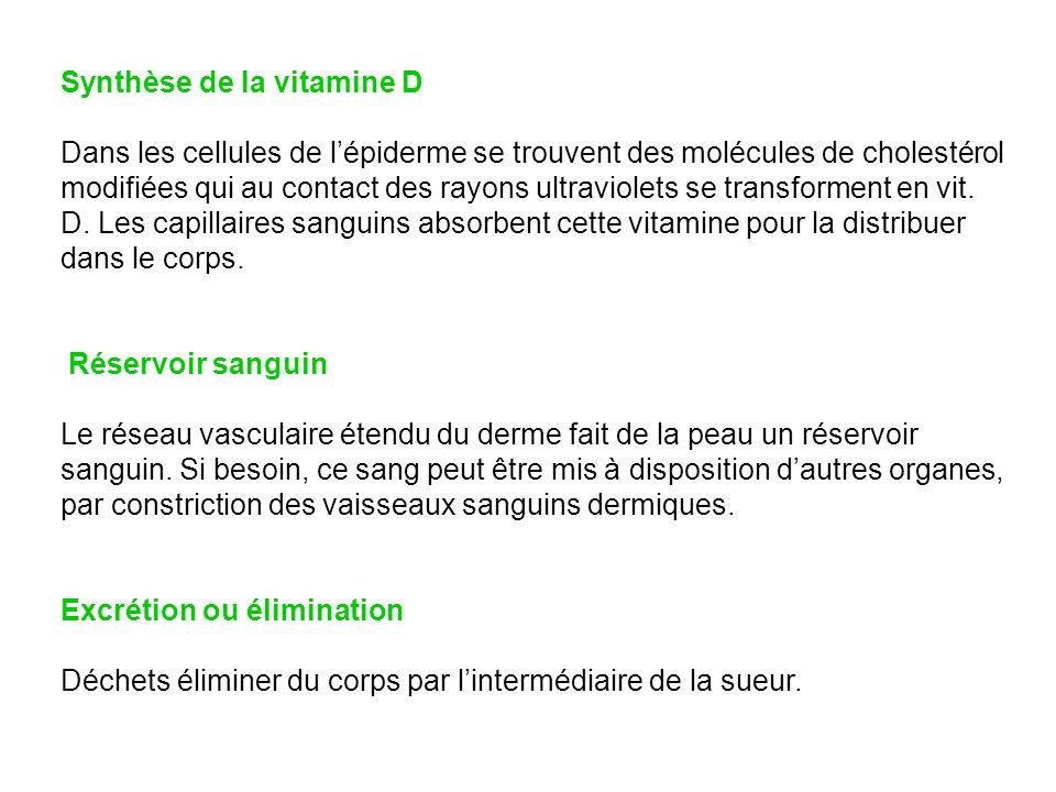 Synthèse de la vitamine D Dans les cellules de lépiderme se trouvent des molécules de cholestérol modifiées qui au contact des rayons ultraviolets se