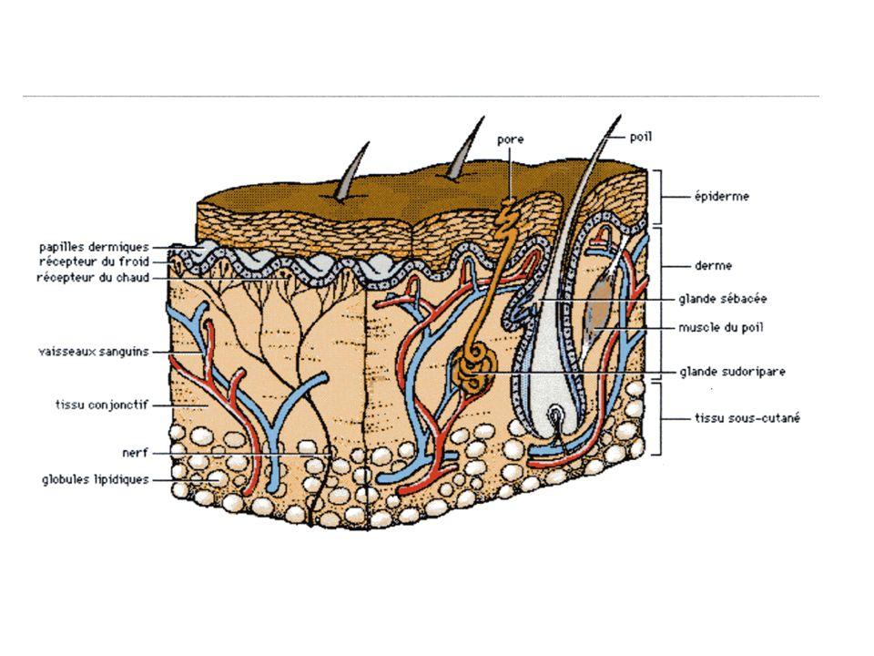 Structure de la peau La peau est formée de deux parties principales : La partie la plus superficielle, appelée EPIDERME La partie la plus profonde, appelée DERME Et une troisième partie au-dessous du derme, couche sous-cutanée, appelée HYPODERME (hypo = au-dessous).