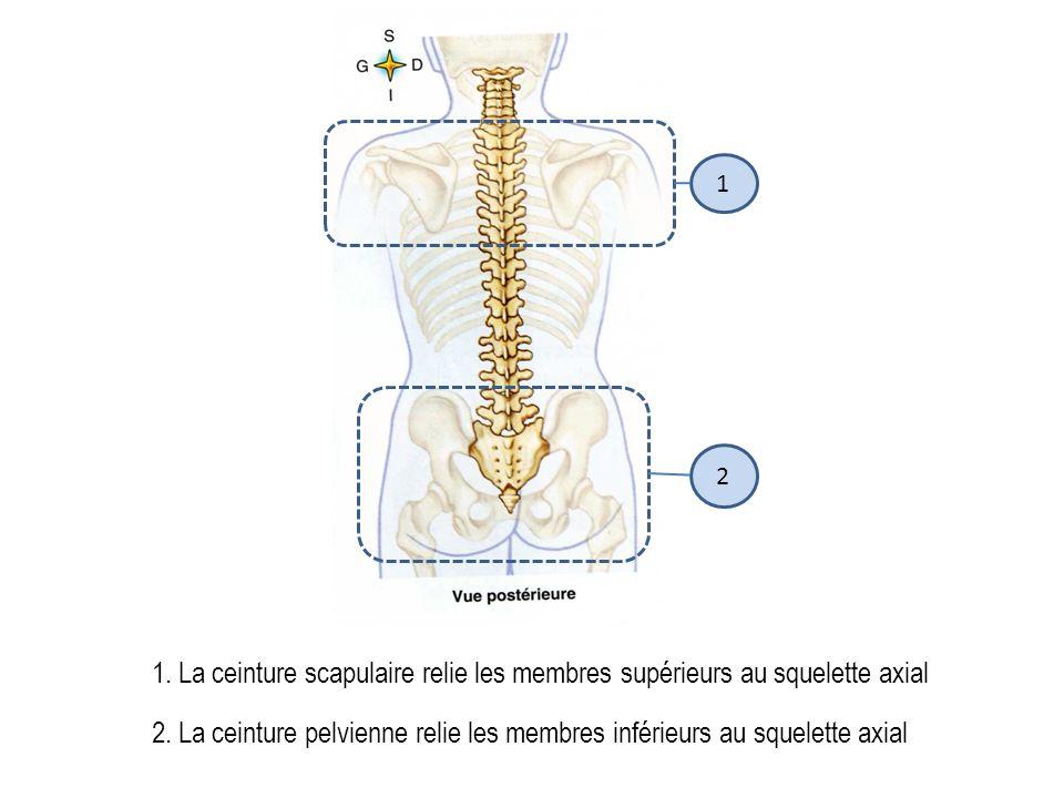 1.La ceinture scapulaire relie les membres supérieurs au squelette axial 2 1 2.