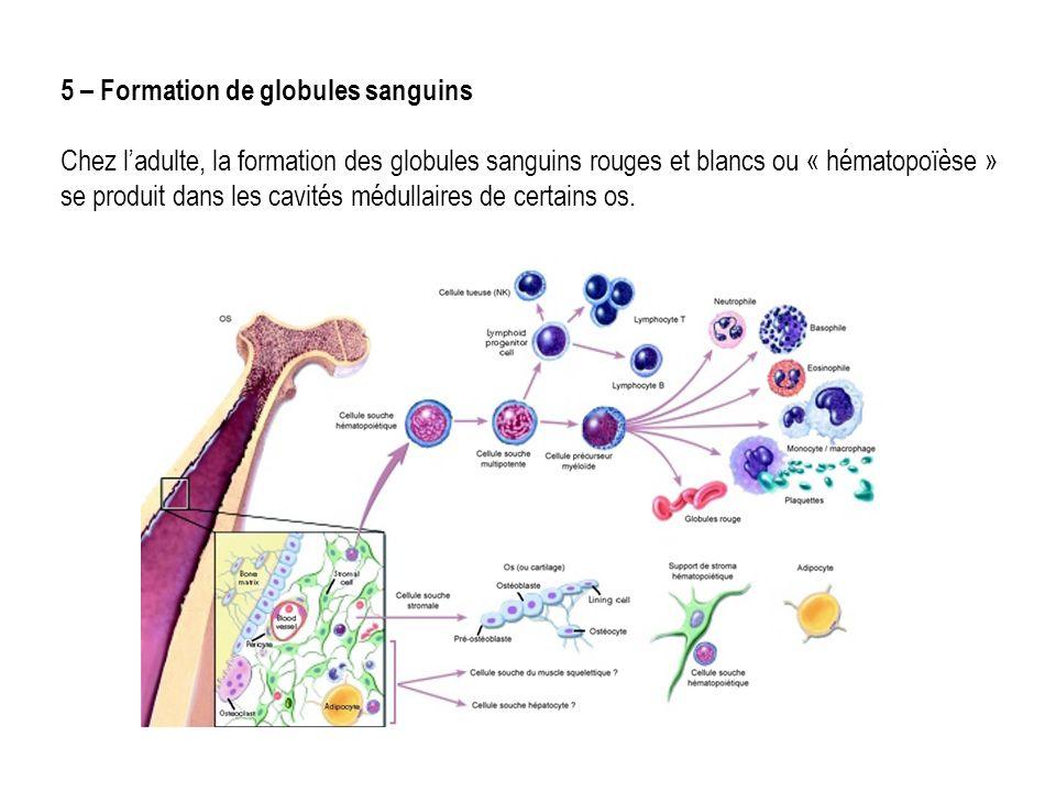 5 – Formation de globules sanguins Chez ladulte, la formation des globules sanguins rouges et blancs ou « hématopoïèse » se produit dans les cavités médullaires de certains os.