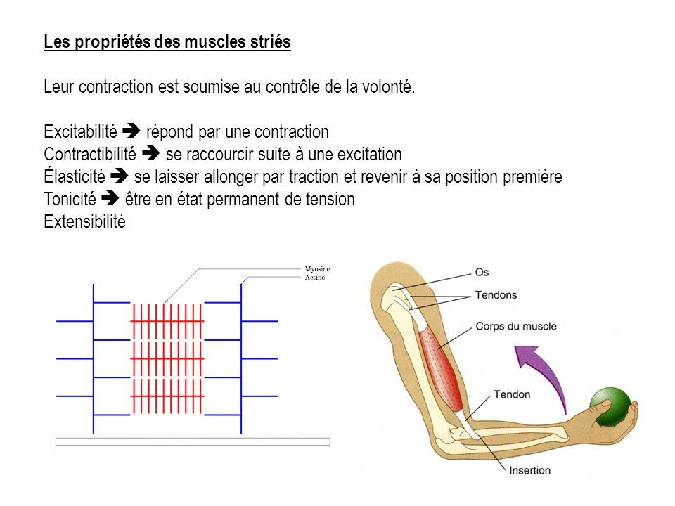Les propriétés des muscles striés Leur contraction est soumise au contrôle de la volonté.