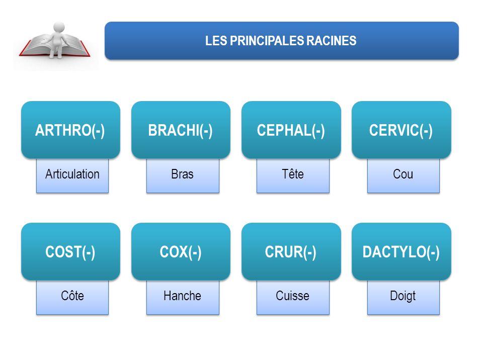 Doigt Cuisse Hanche Côte Cou Tête Bras Articulation LES PRINCIPALES RACINES ARTHRO(-) BRACHI(-) CEPHAL(-) CERVIC(-) COST(-) COX(-) CRUR(-) DACTYLO(-)