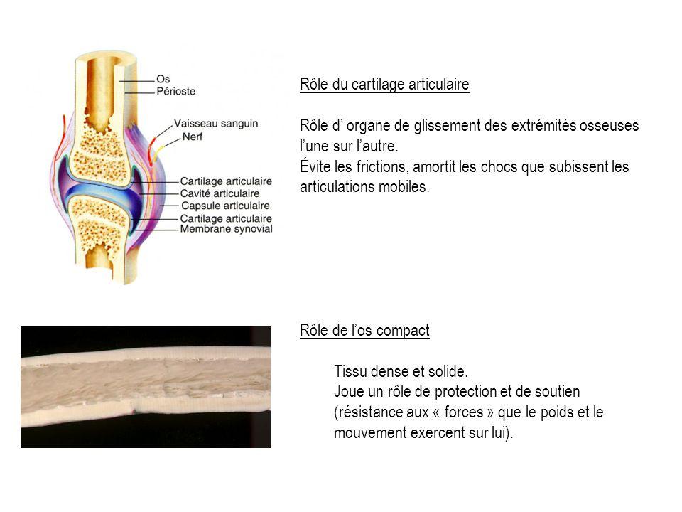 Rôle du cartilage articulaire Rôle d organe de glissement des extrémités osseuses lune sur lautre.