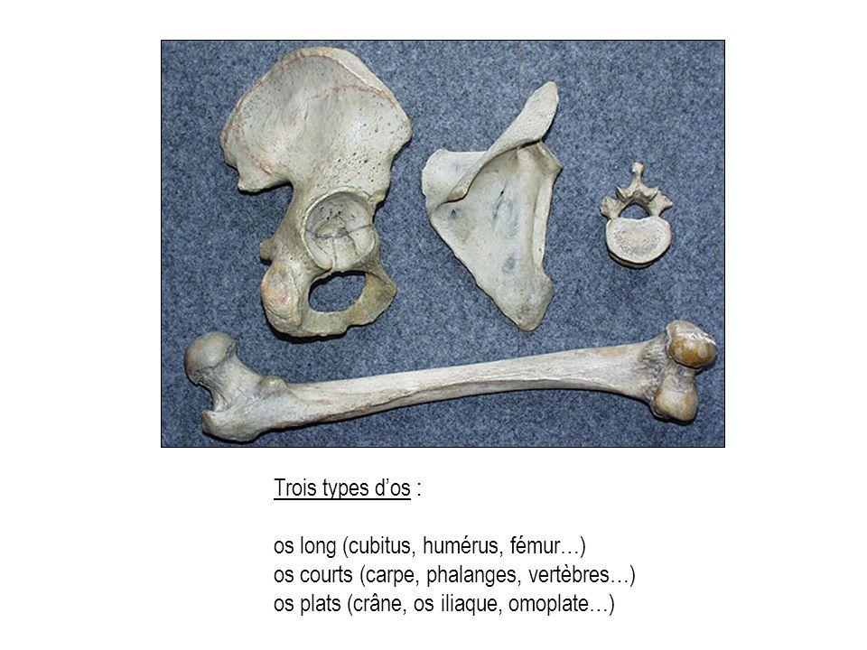 Trois types dos : os long (cubitus, humérus, fémur…) os courts (carpe, phalanges, vertèbres…) os plats (crâne, os iliaque, omoplate…)