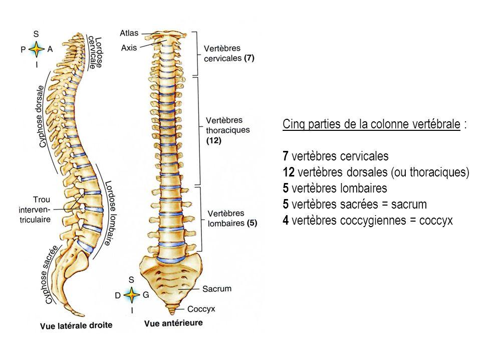 Cinq parties de la colonne vertébrale : 7 vertèbres cervicales 12 vertèbres dorsales (ou thoraciques) 5 vertèbres lombaires 5 vertèbres sacrées = sacrum 4 vertèbres coccygiennes = coccyx
