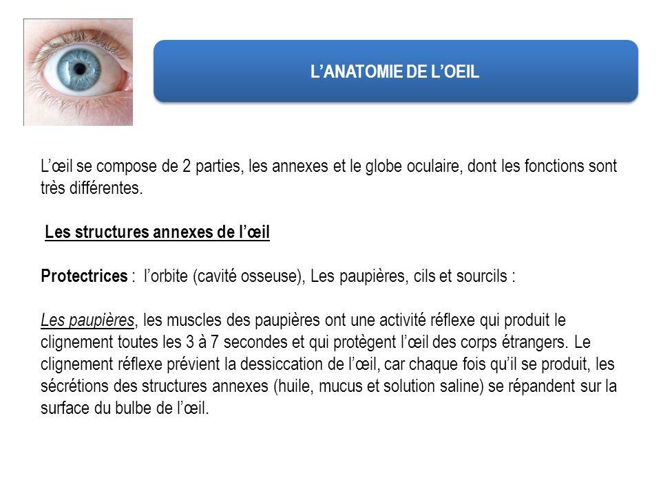 LANATOMIE DE LOEIL Lœil se compose de 2 parties, les annexes et le globe oculaire, dont les fonctions sont très différentes. Les structures annexes de