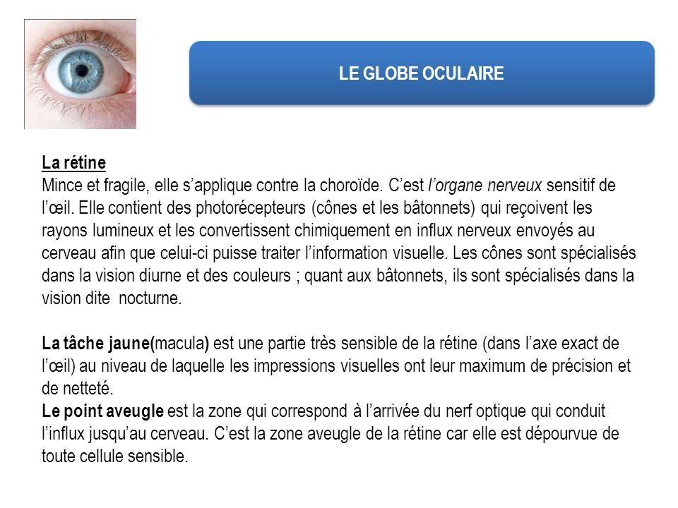 La rétine Mince et fragile, elle sapplique contre la choroïde. Cest lorgane nerveux sensitif de lœil. Elle contient des photorécepteurs (cônes et les