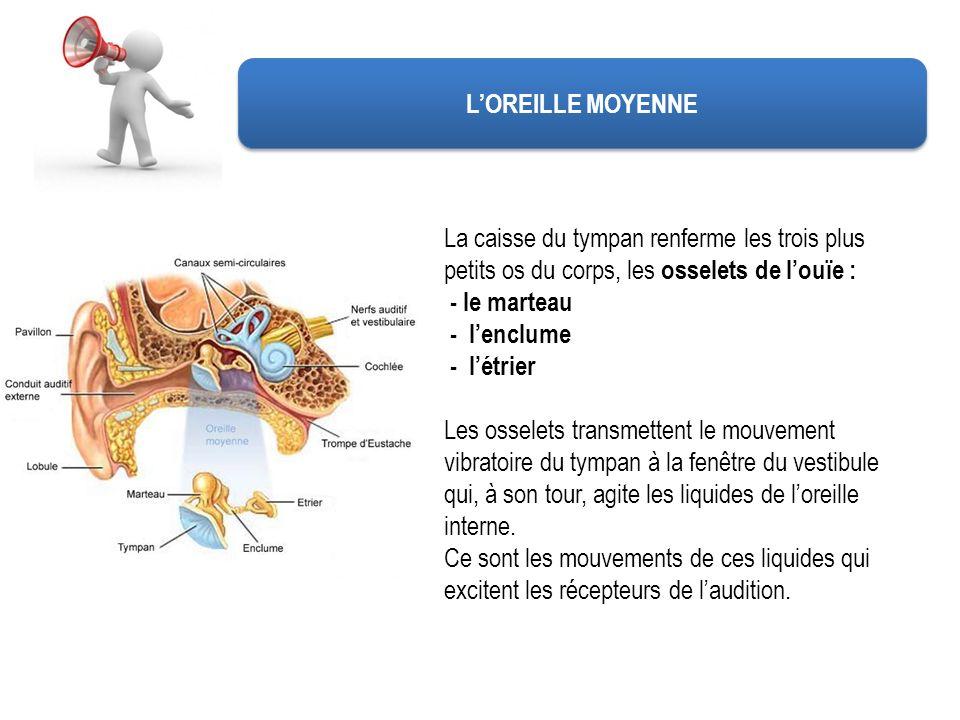 LOREILLE MOYENNE La caisse du tympan renferme les trois plus petits os du corps, les osselets de louïe : - le marteau - lenclume - létrier Les osselet