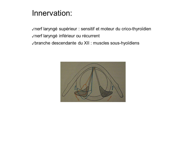 Innervation: nerf laryngé supérieur : sensitif et moteur du crico-thyroïdien nerf laryngé inférieur ou récurrent branche descendante du XII : muscles sous-hyoïdiens